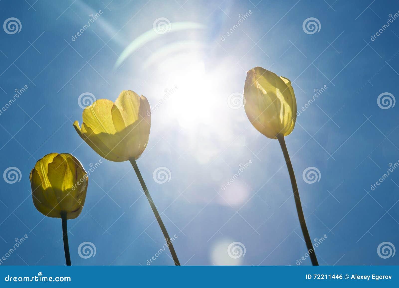 Żółci tulipany na niebieskim niebie jasne słońce sunshine