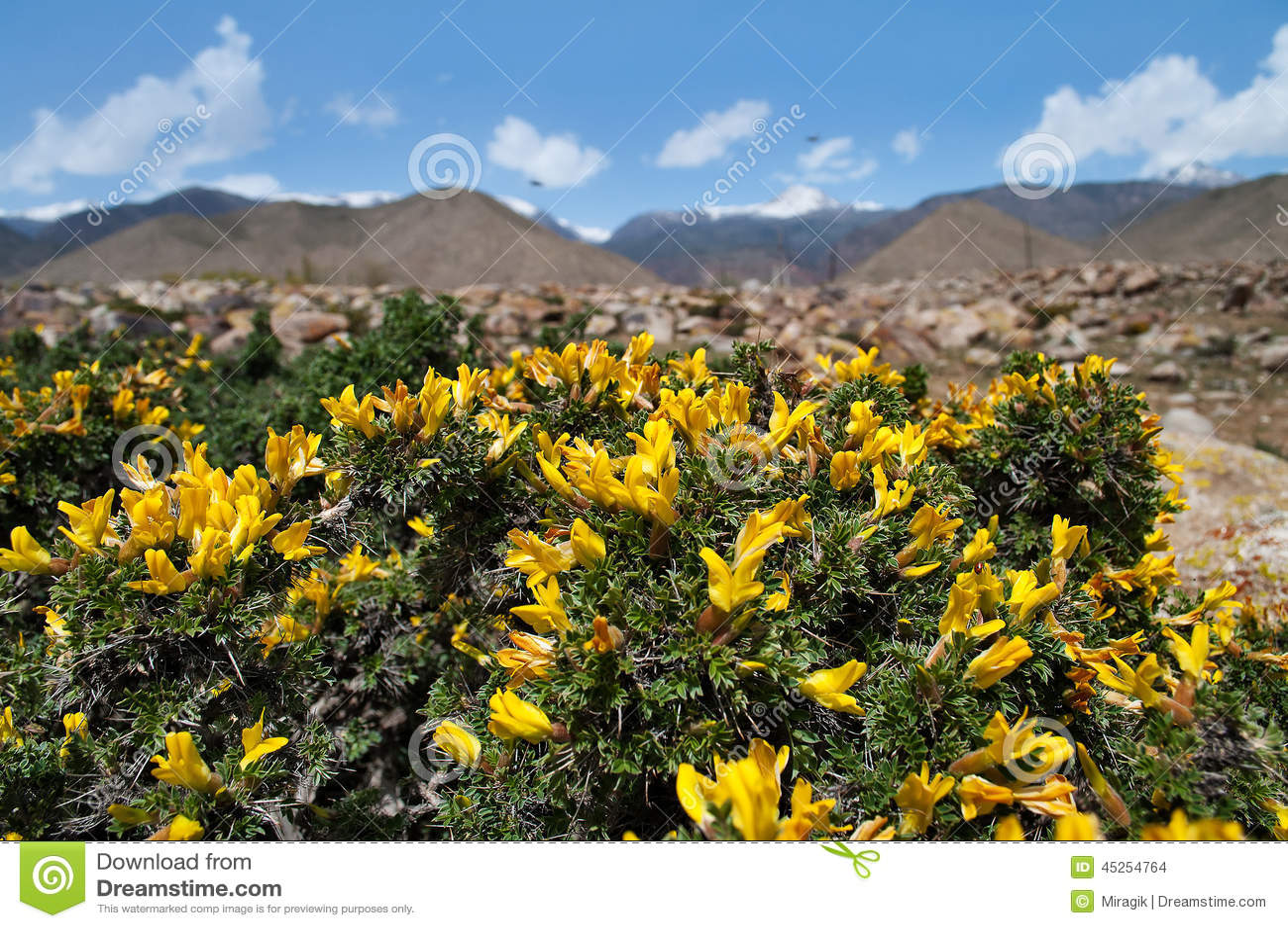 Żółta akacja