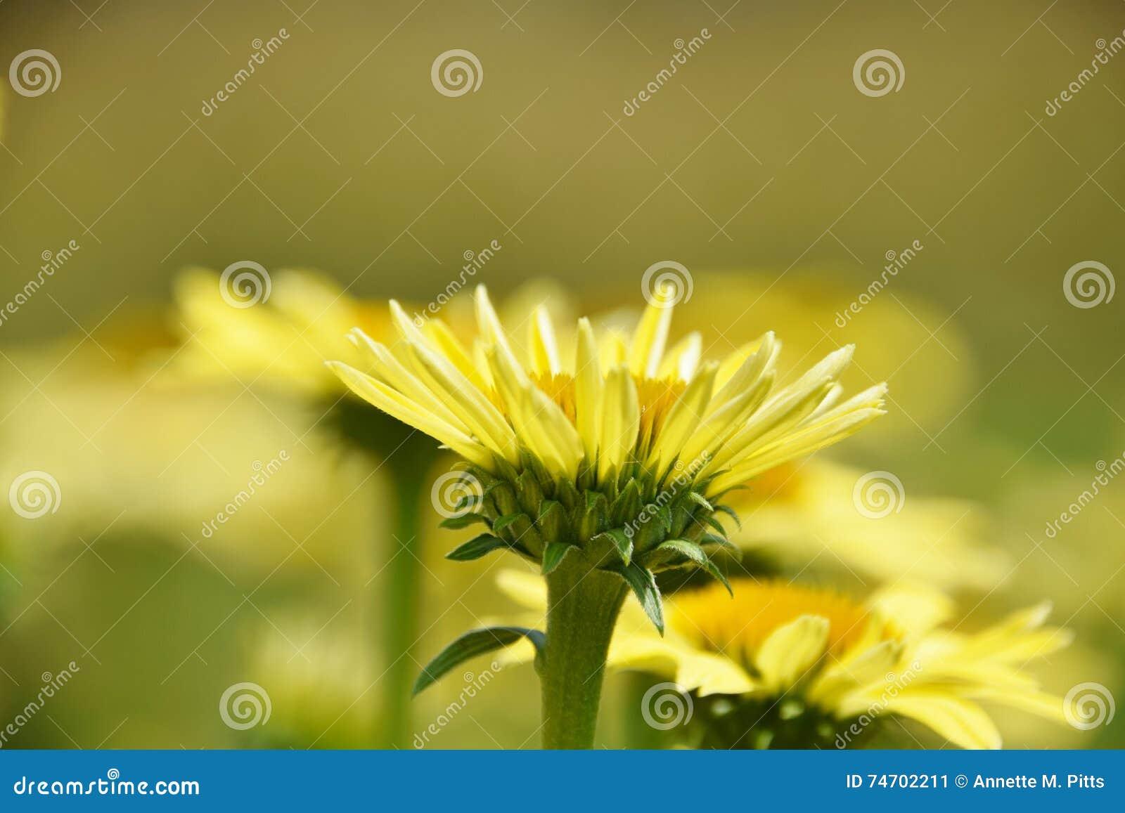 Żółta kwitnąca stokrotka