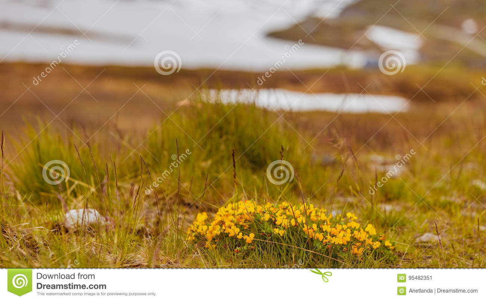 Żółta wiosna kwitnie w norweskich górach