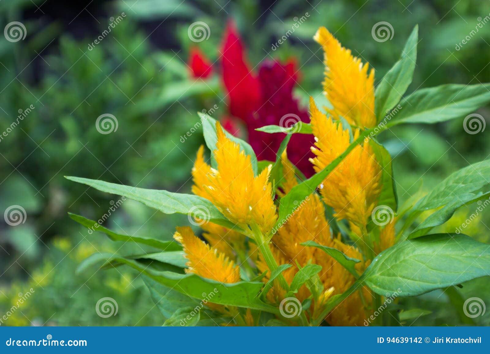 Żółty amaranthus