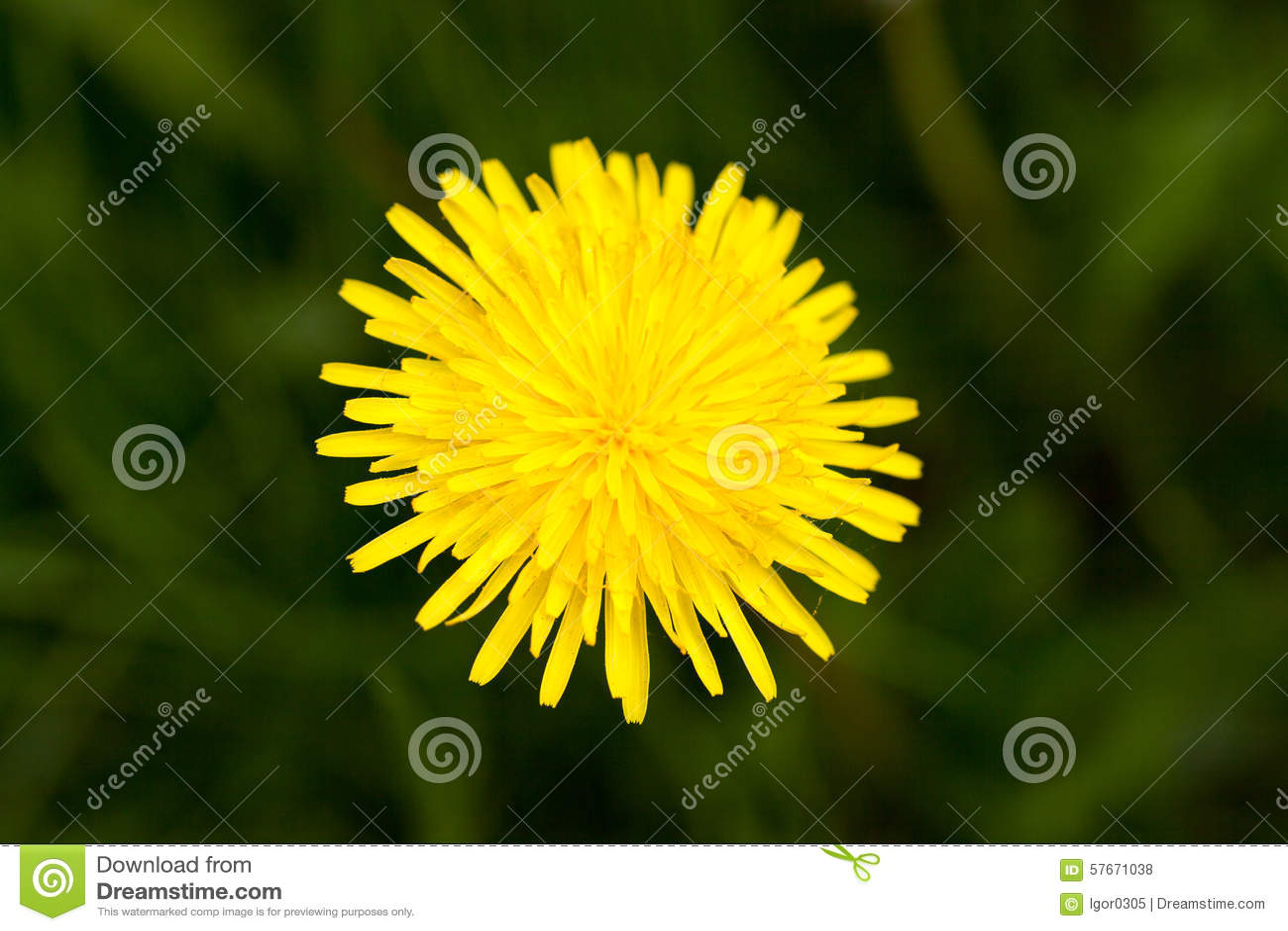 Żółty dandelion