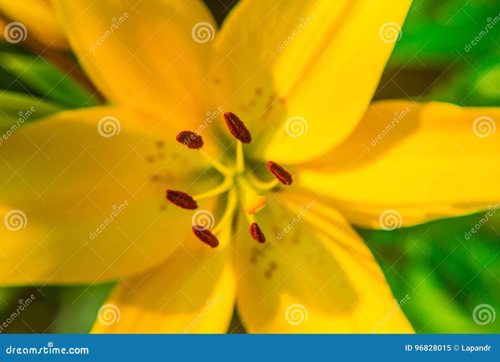 Żółty leluja kwiatu zbliżenie Pistil, stamen i pollen, Makro-