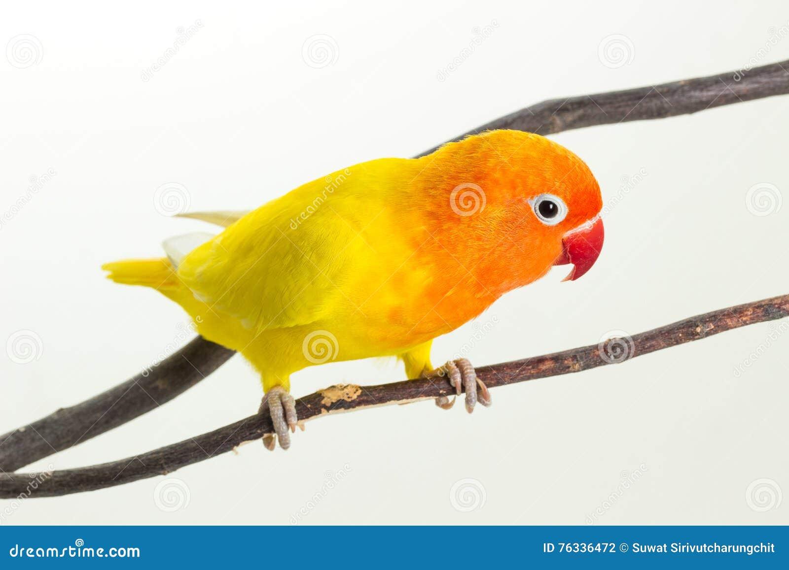 Żółty Lovebird na gałąź