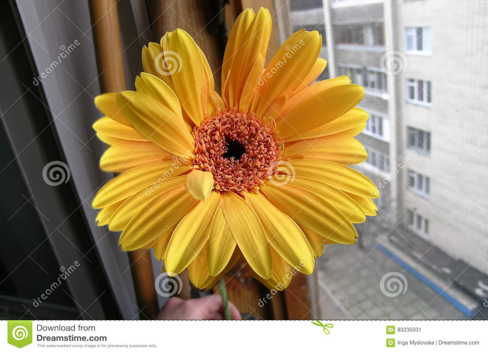 Żółty pomarańczowy Gerbera przy okno