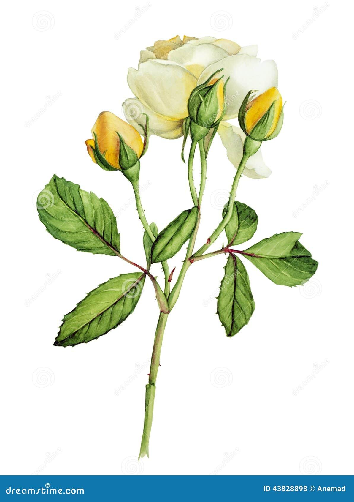 Żółtych róż botaniczna akwarela