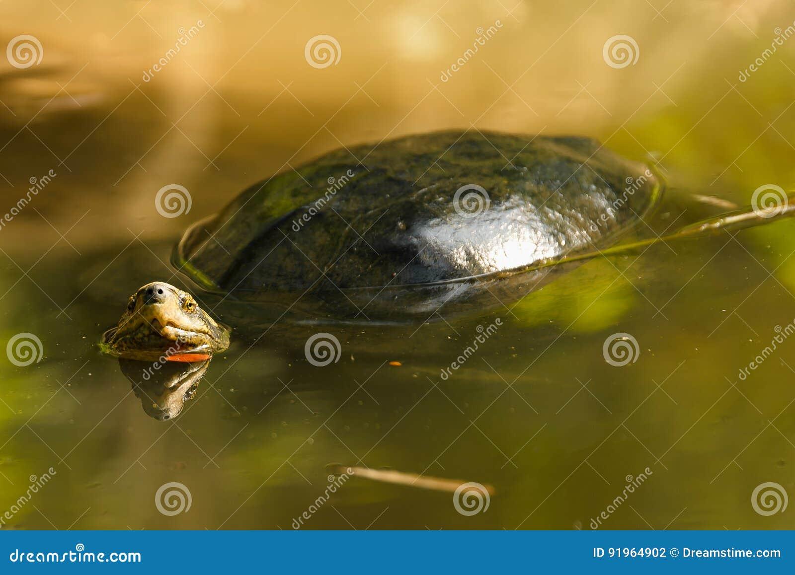Żółw unosi się w rzecznej patrzeje kamerze