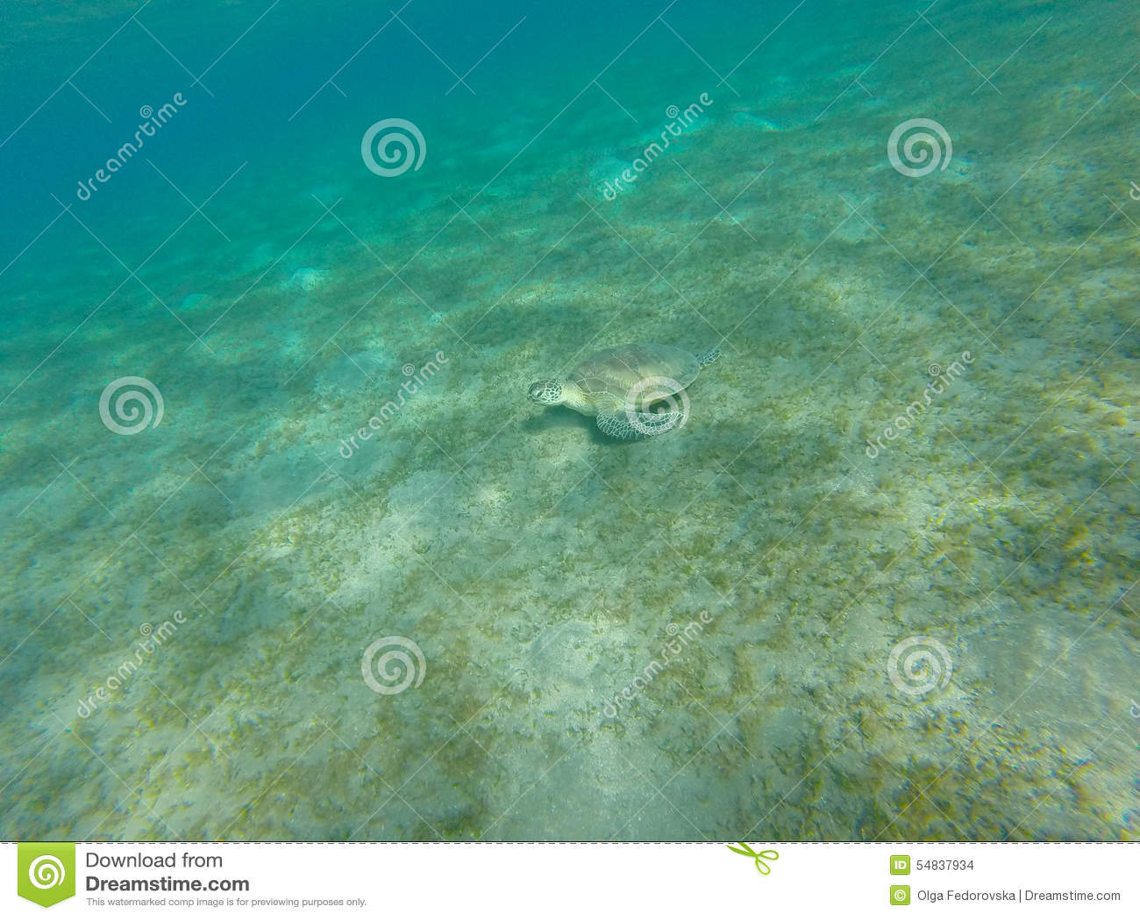 Żółwia obsiadanie na dennym dnie czerwonego morza strzału Sinai underwater