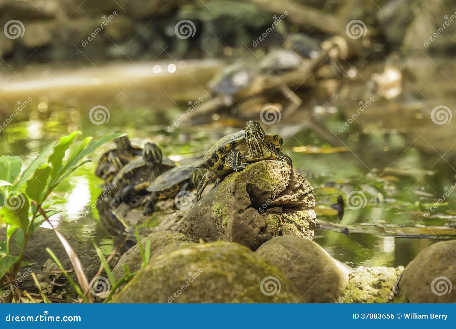Download Żółwia staw zdjęcie stock. Obraz złożonej z żółwie, natura - 37083656