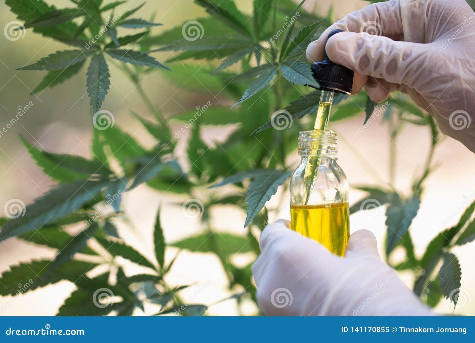 Óleo de cânhamo, produtos médicos da marijuana que incluem a folha do cannabis, cbd e óleo da mistura, medicina alternativa
