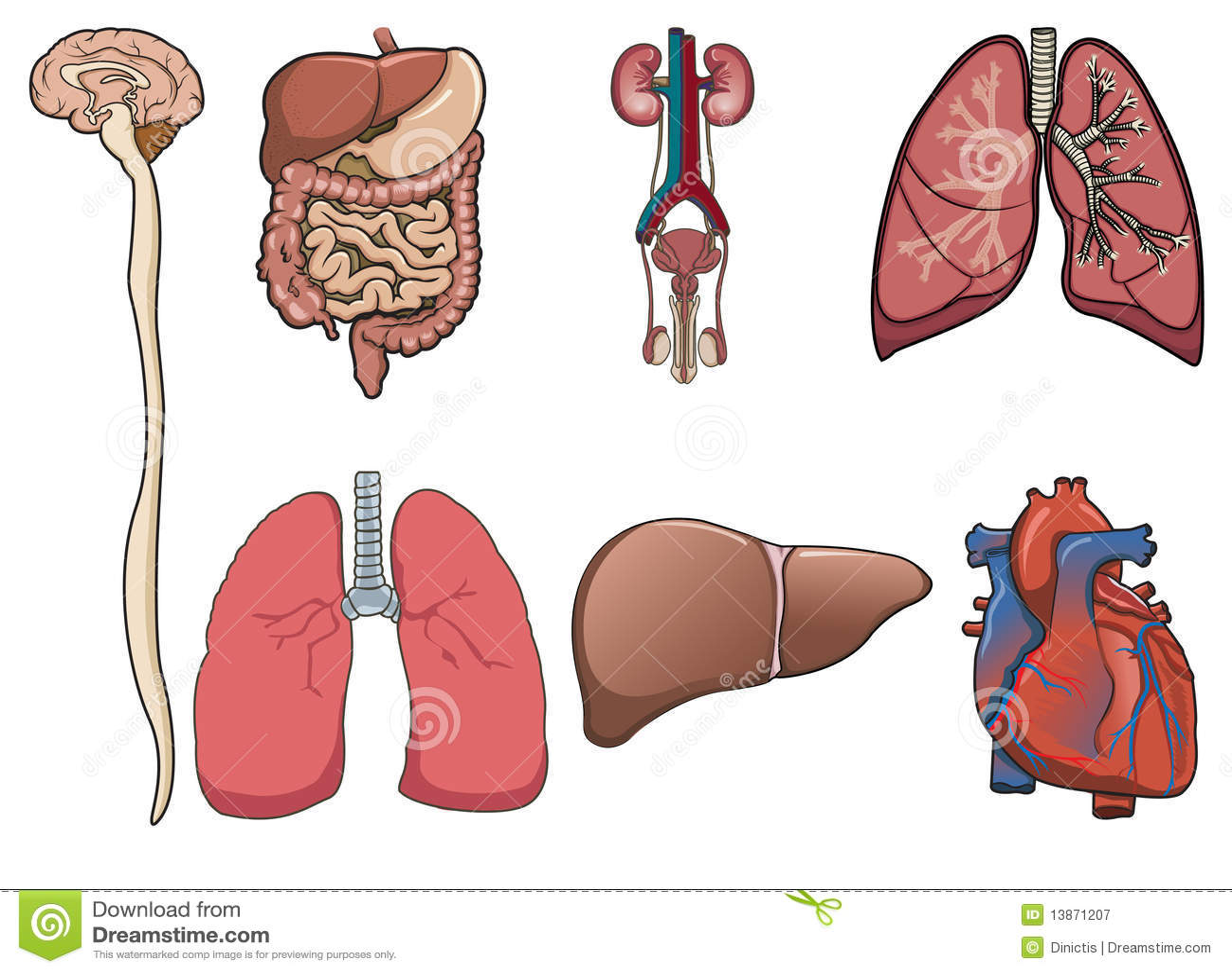 Órgano humano adentro