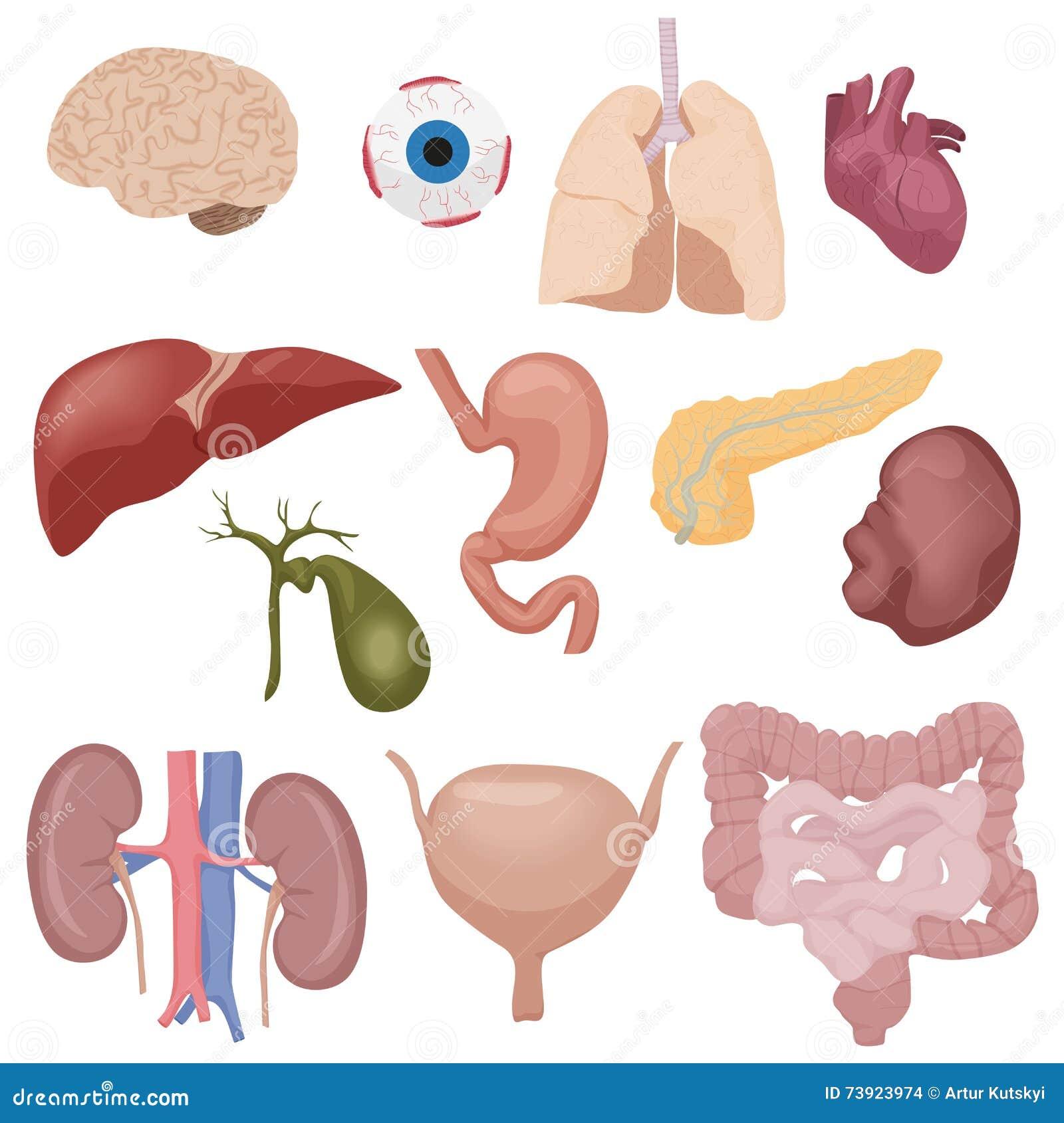 Perfecto órganos Dentro Del Cuerpo Colección de Imágenes - Anatomía ...
