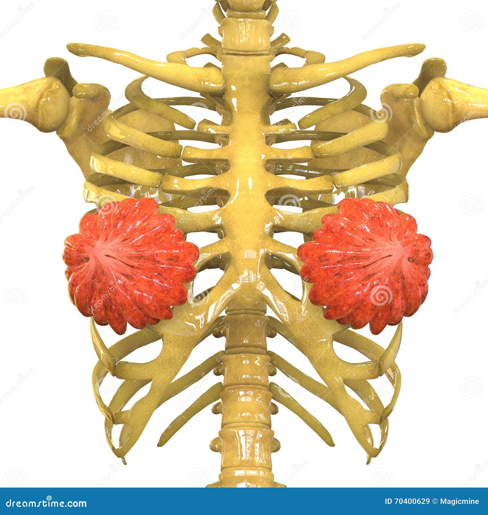 Órganos Del Cuerpo Femenino (glándulas Mamarias) Con El Sistema ...