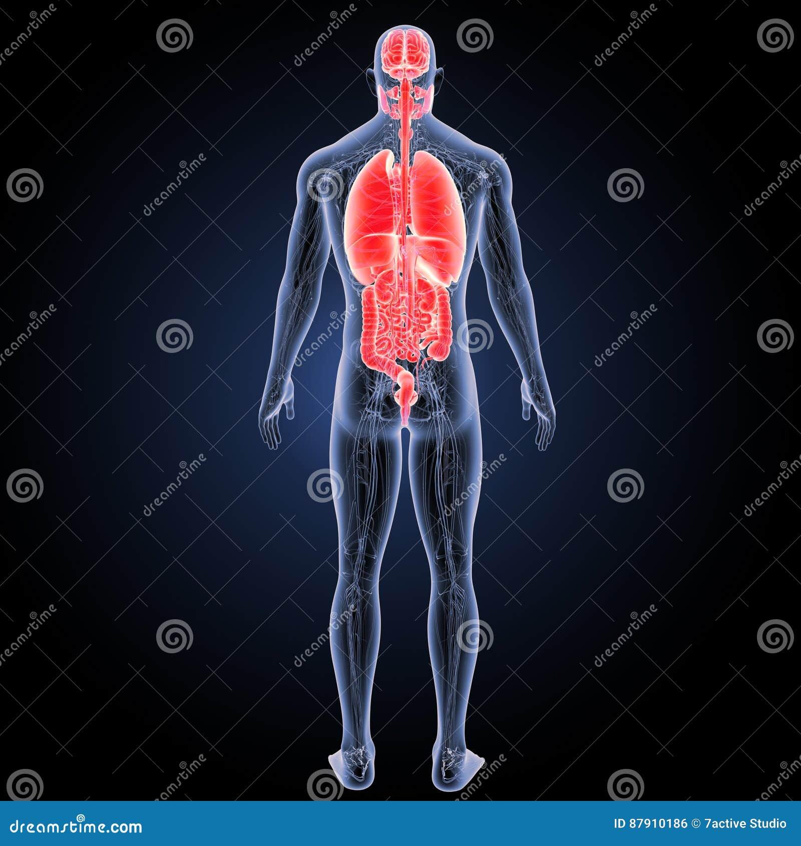 Órganos Humanos Con La Opinión Del Trasero De La Anatomía Stock de ...