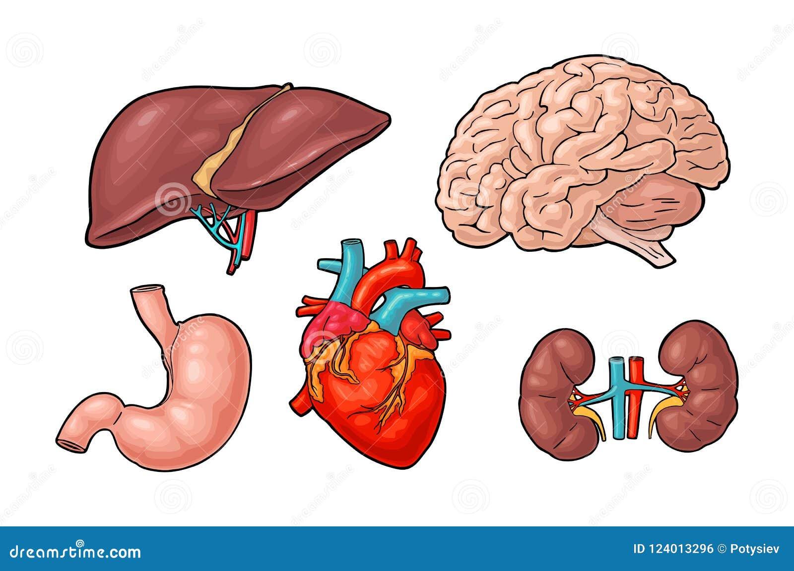 Órganos Humanos De La Anatomía Cerebro, Riñón, Corazón, Hígado ...