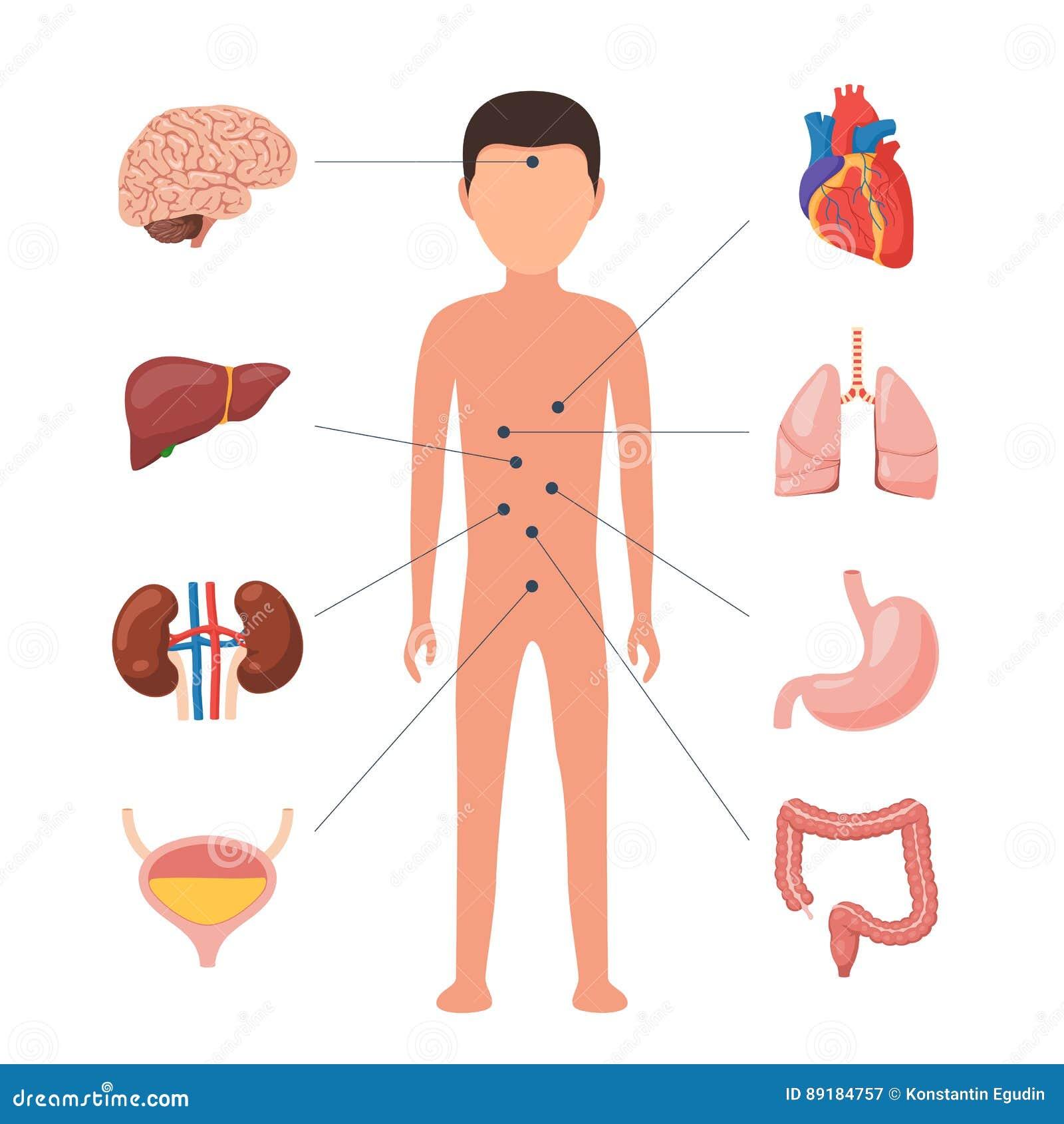 Encantador Diagrama De Cuerpo De La Mujer De Los órganos Composición ...