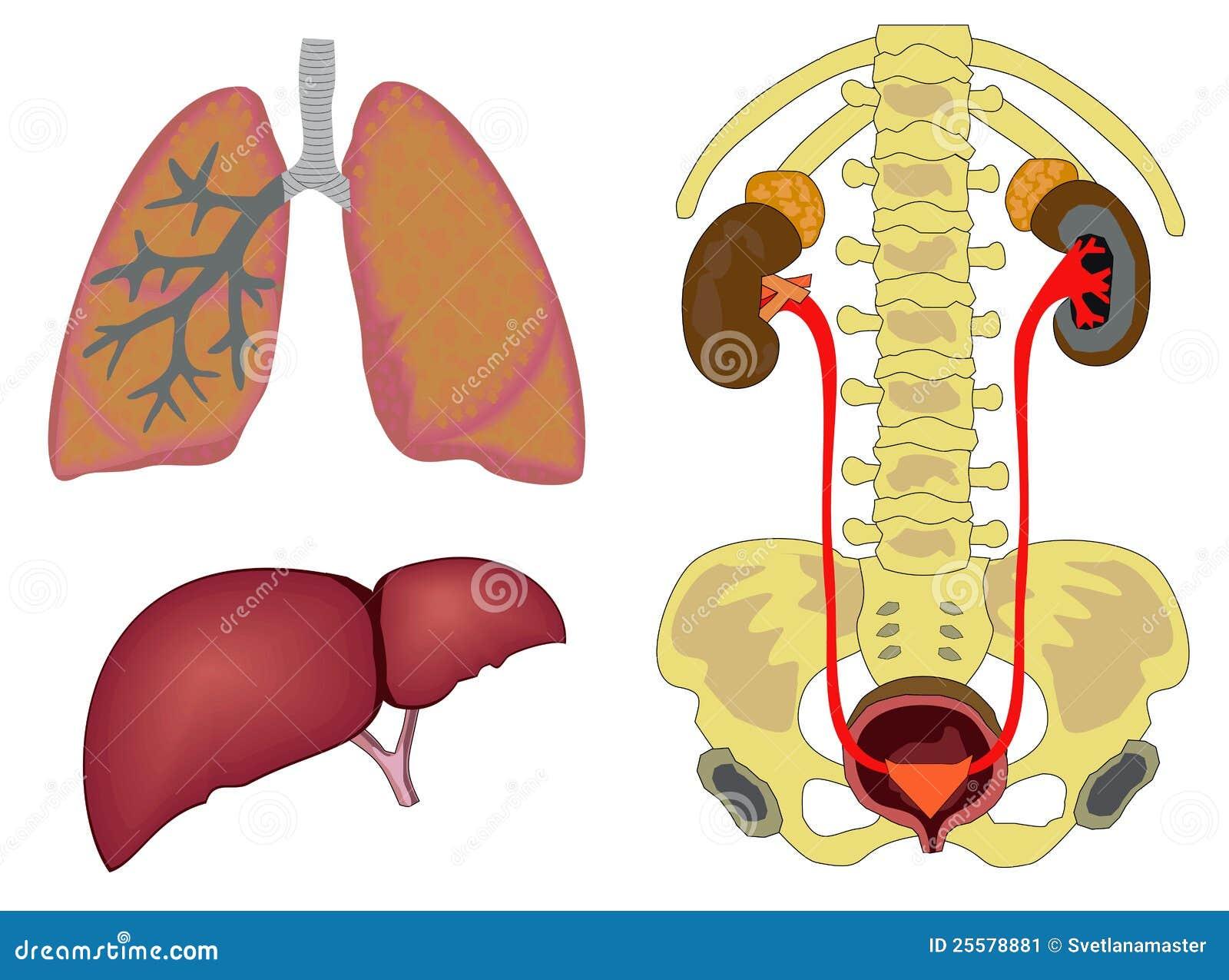 Órganos humanos internos ilustración del vector. Ilustración de ...
