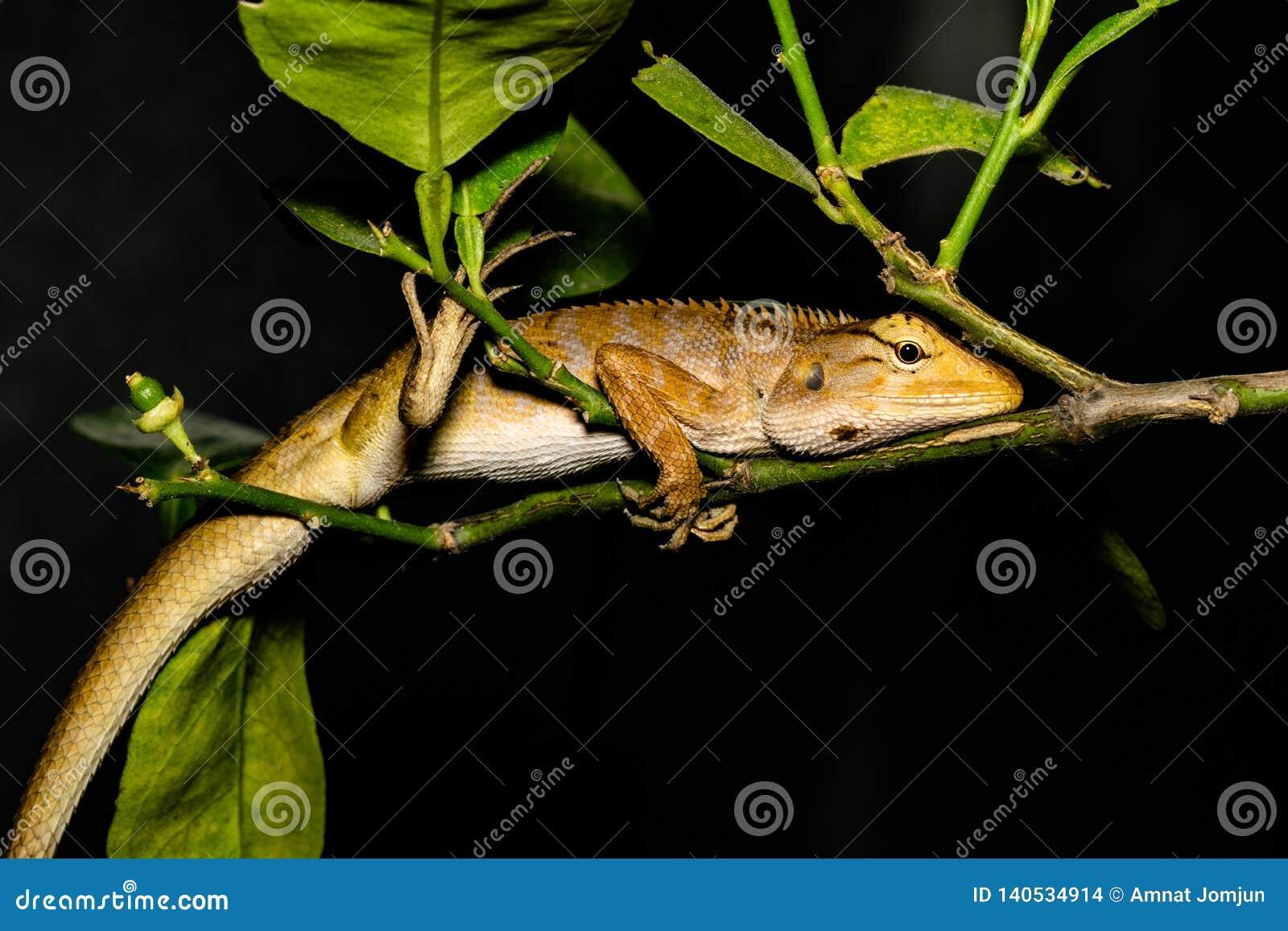 Ödla leguan, gecko, Skink