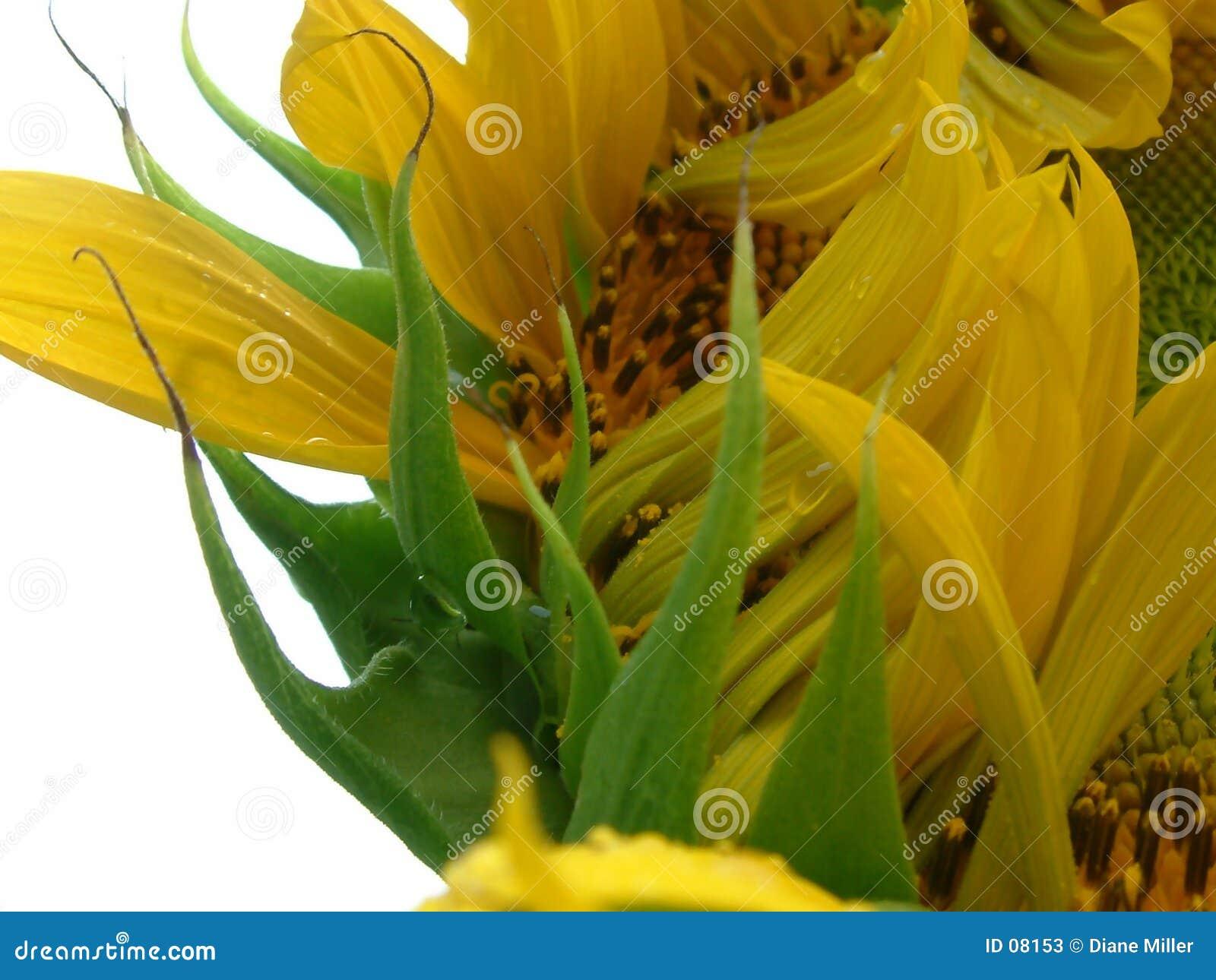 Öffnungssonnenblume