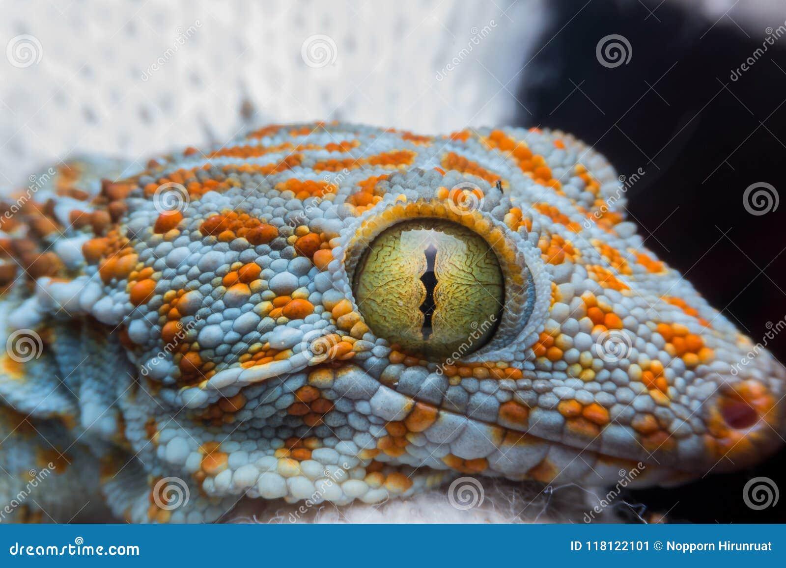Öga av geckon