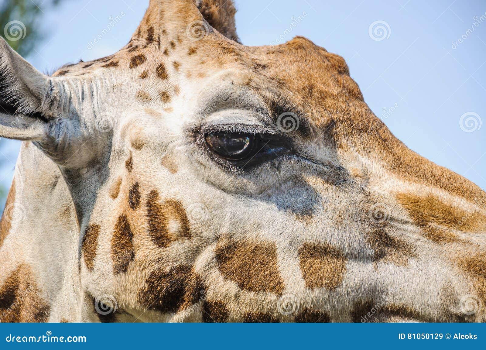 Öga av giraffet för Rothschild ` s