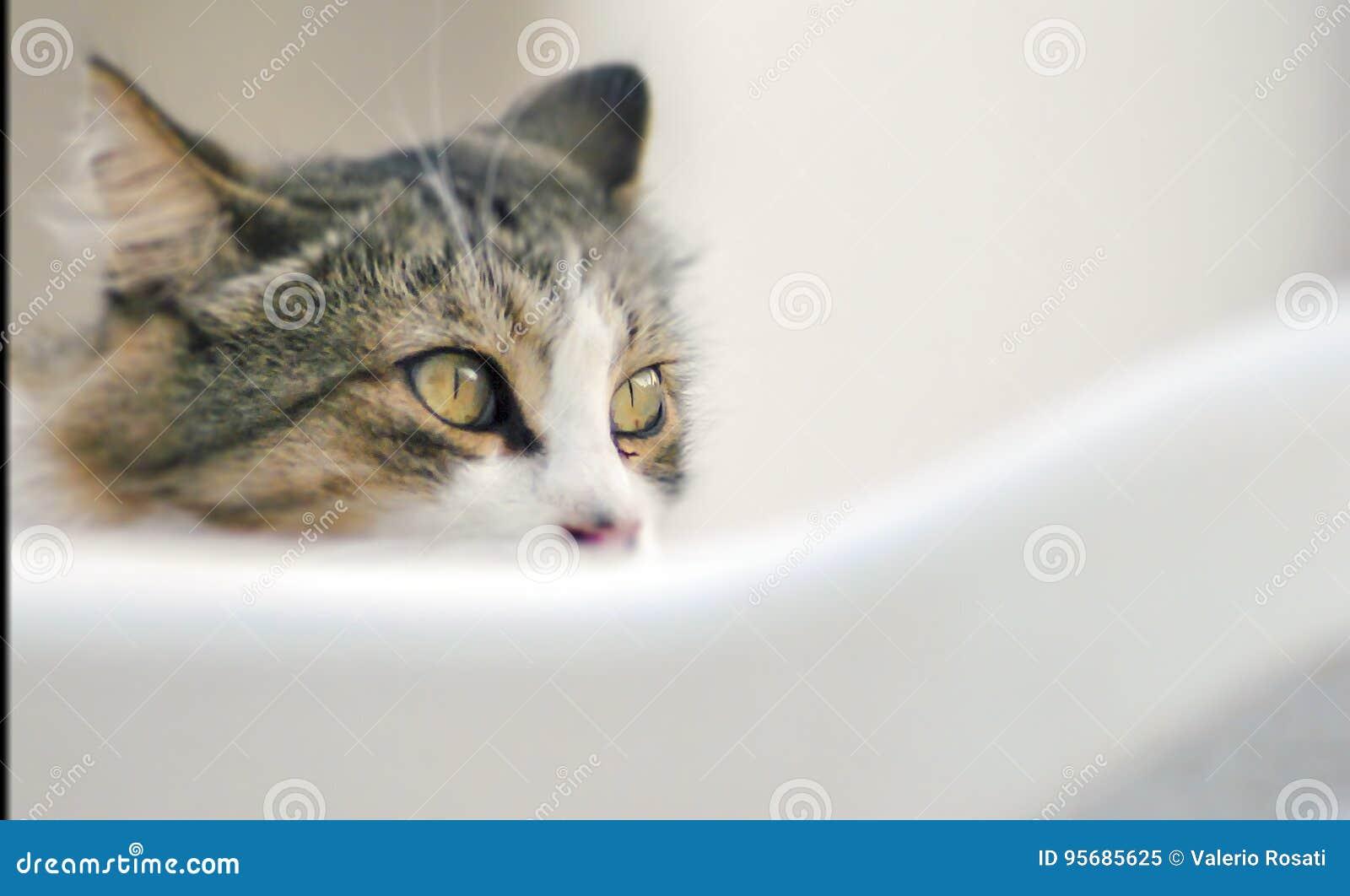 Ögon av en grå katt