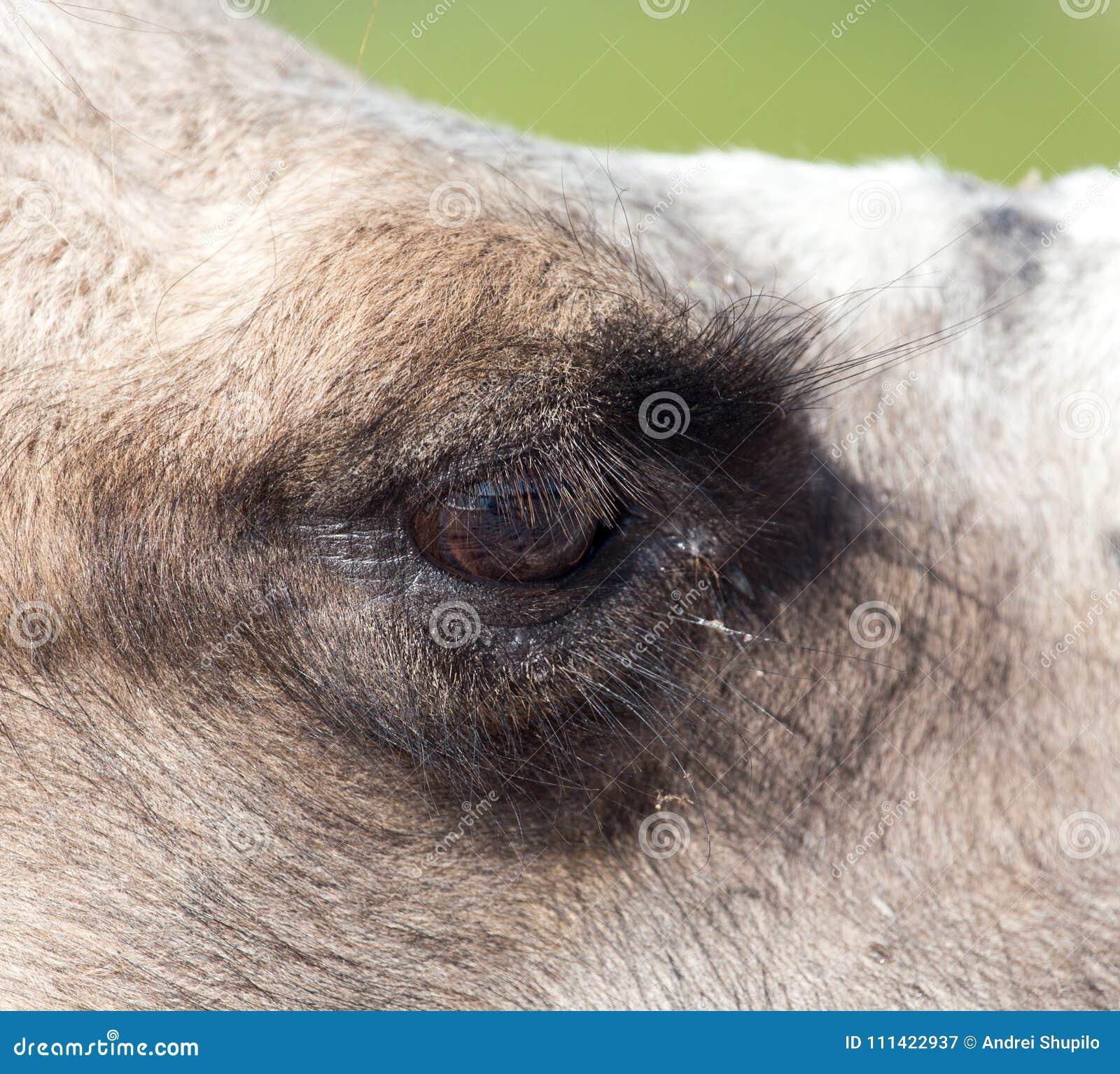 Ögon av en kamel
