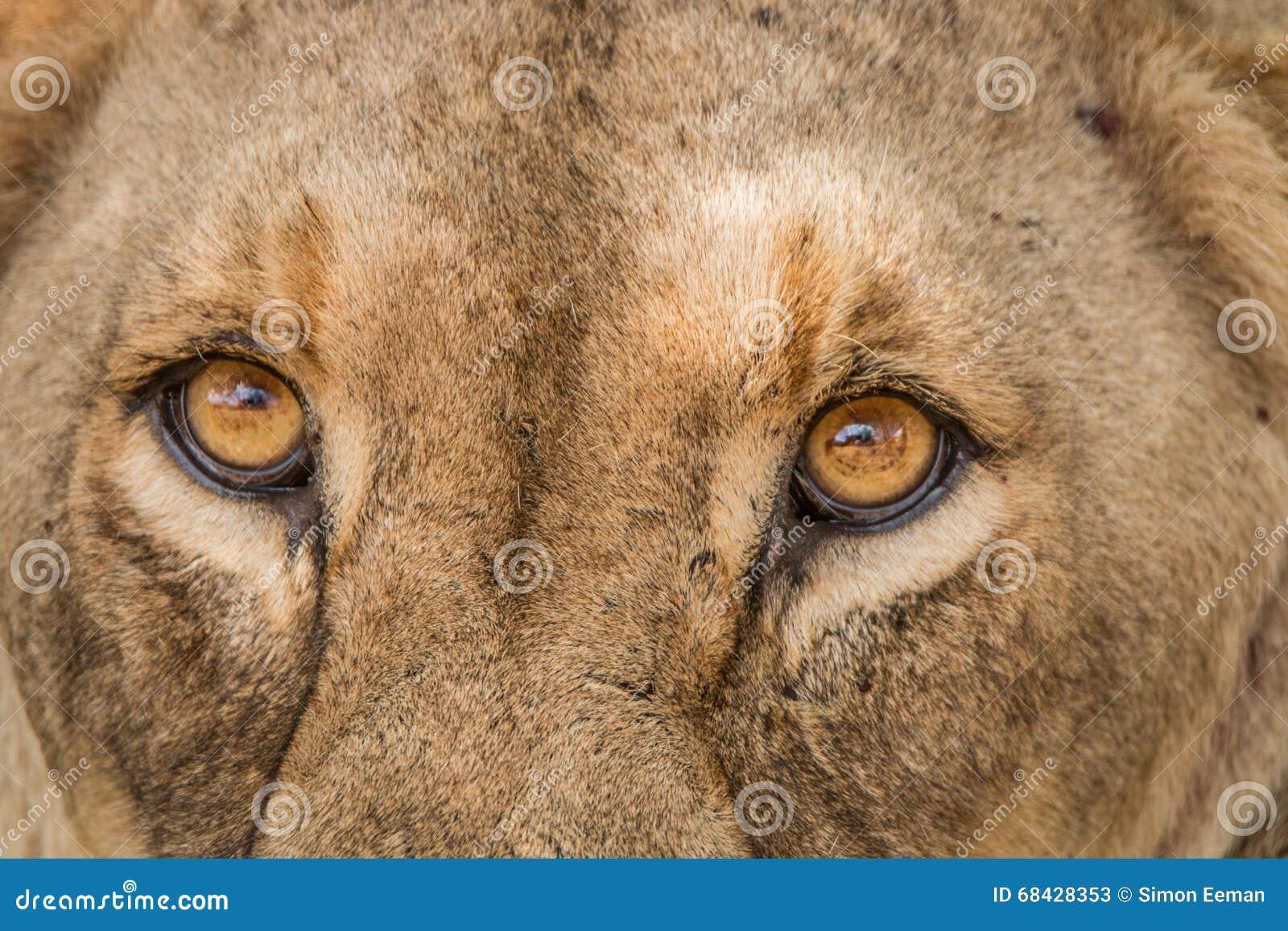 Ögon av en lejoninna