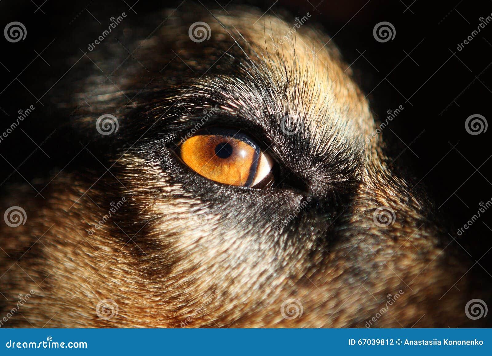 Ögon för gul hund - närbild