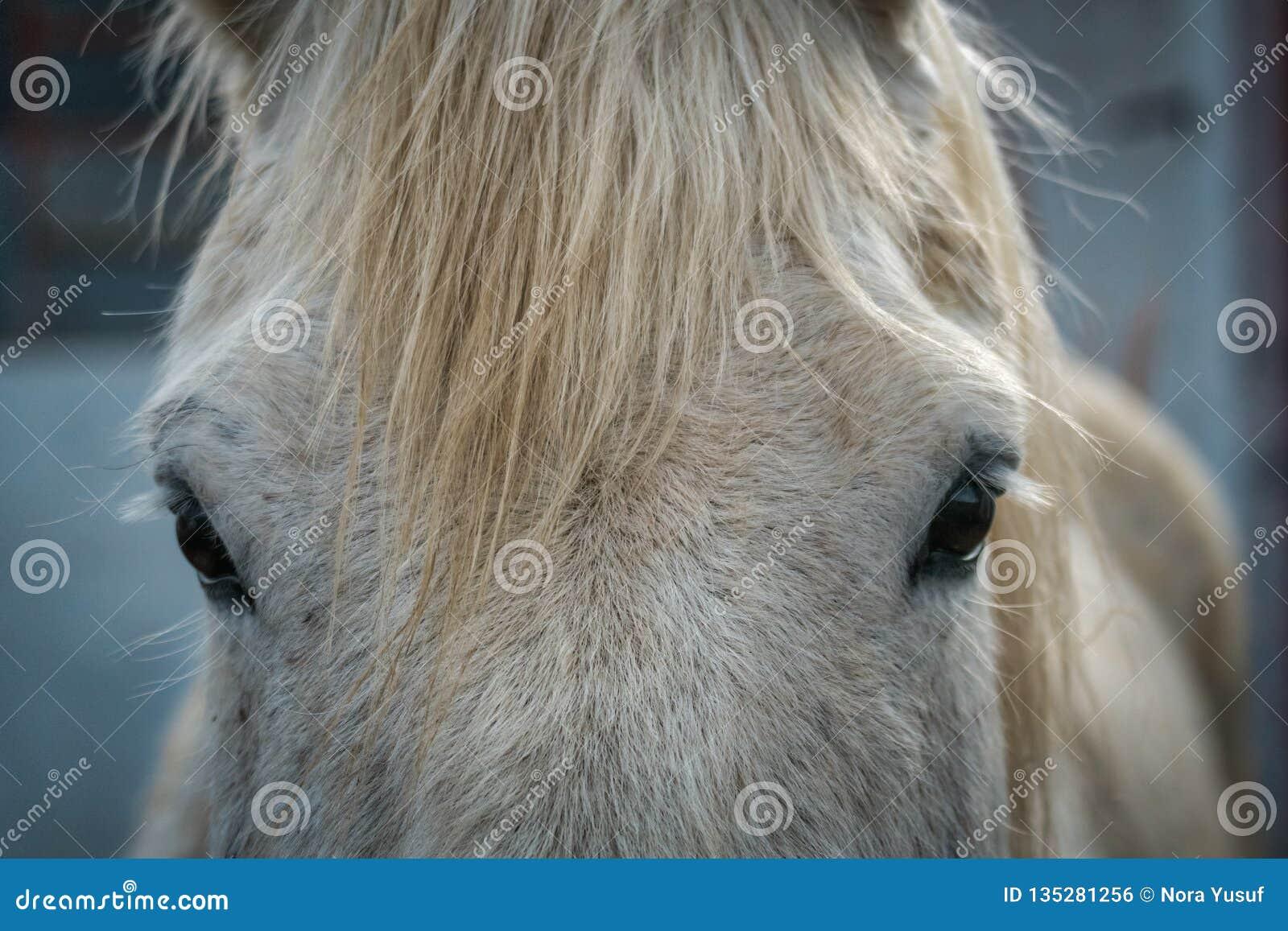 Ögon och kalufs av en fläckig vit häst