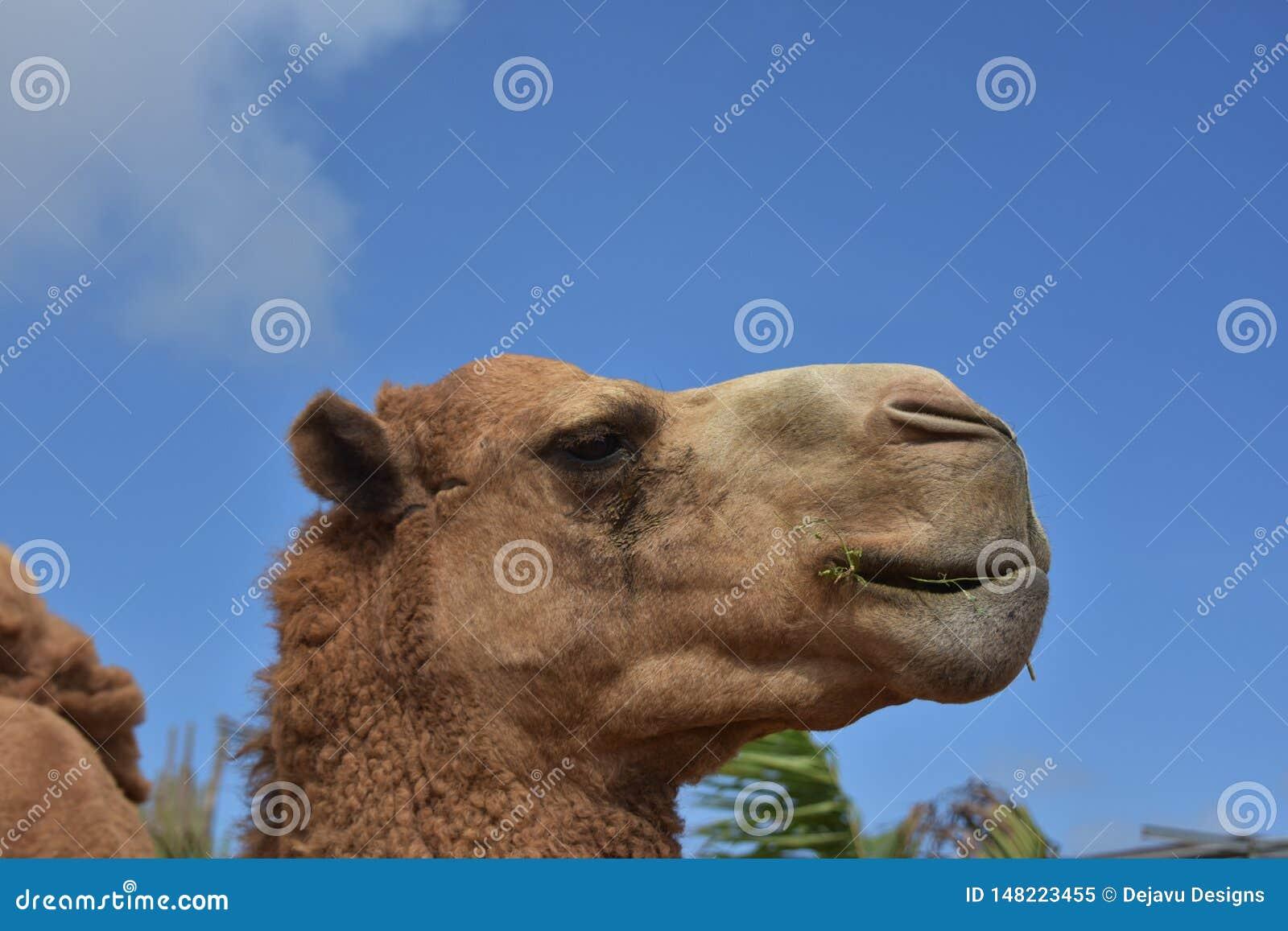 Ögon som stängs på en Bactrian kamel på en härlig dag