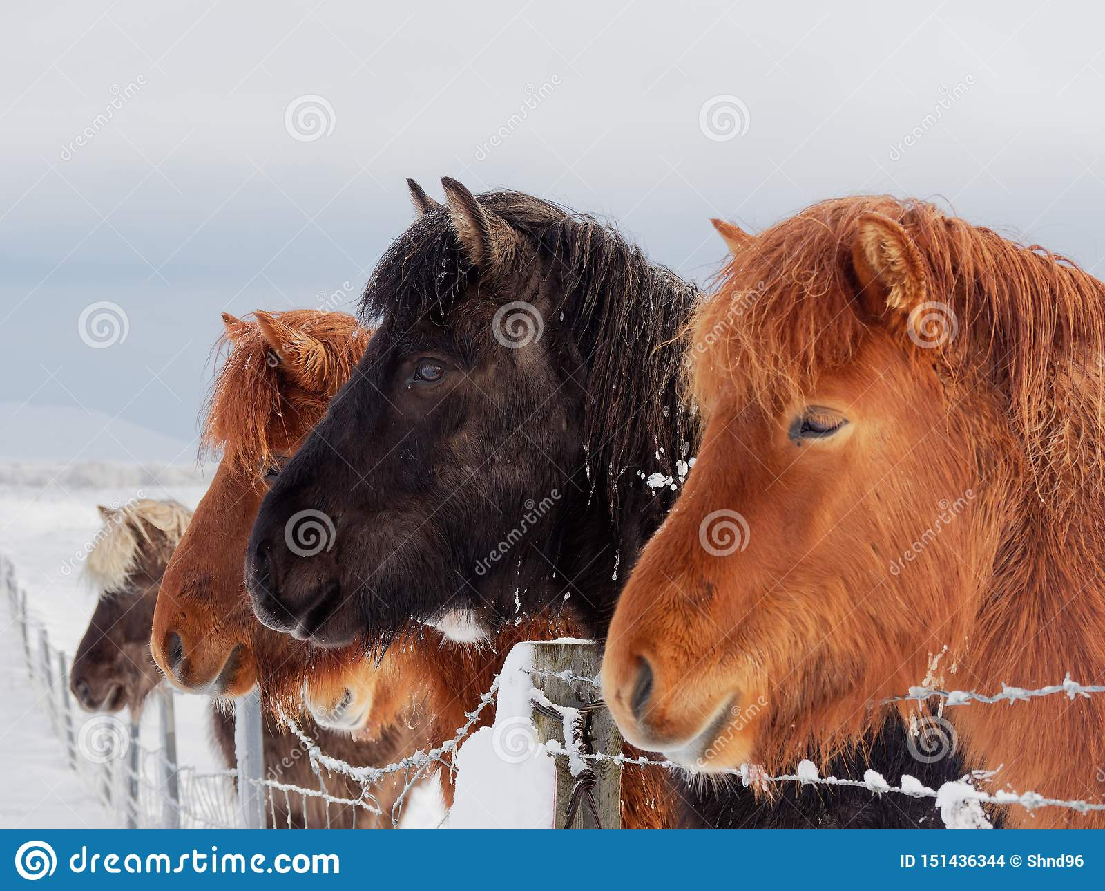 Öhästar i vintern