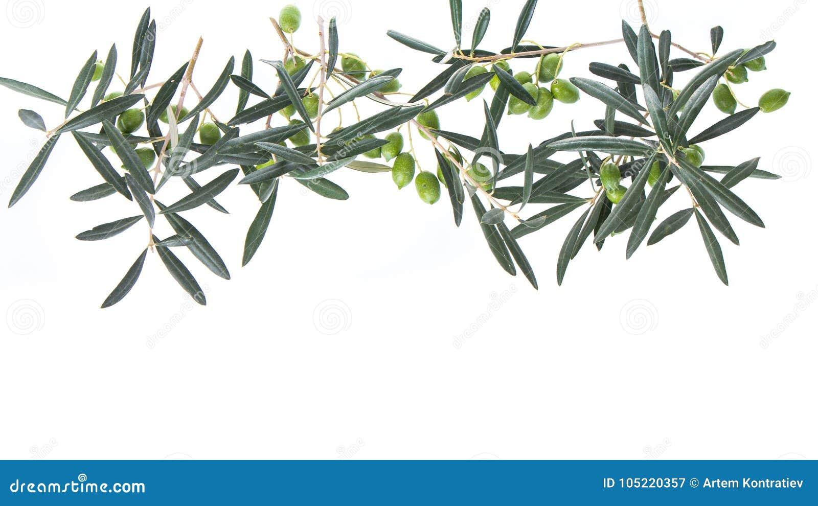 Ölzweig mit den grünen Oliven lokalisiert auf weißem Hintergrund