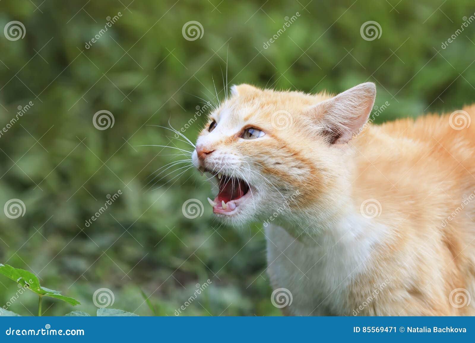 öppnad Mun För Katt Hotande Med Stora Tänder Fotografering För