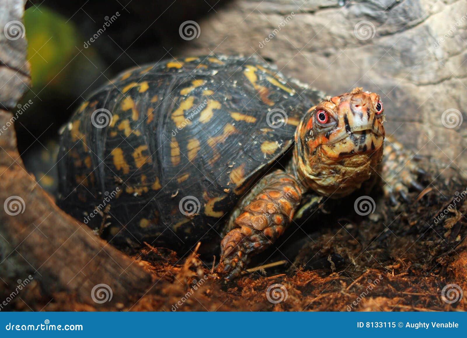 Östliche Kasten-Schildkröte