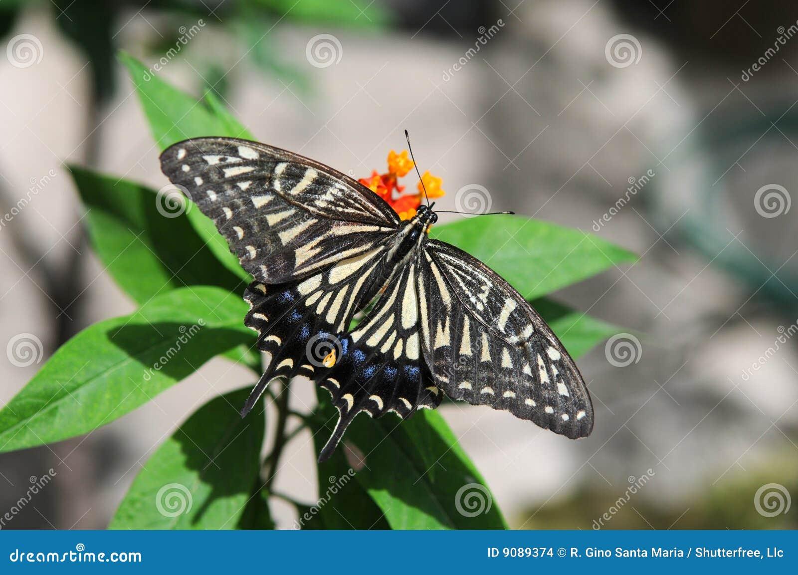 Östliche Tiger Swallowtail Basisrecheneinheit