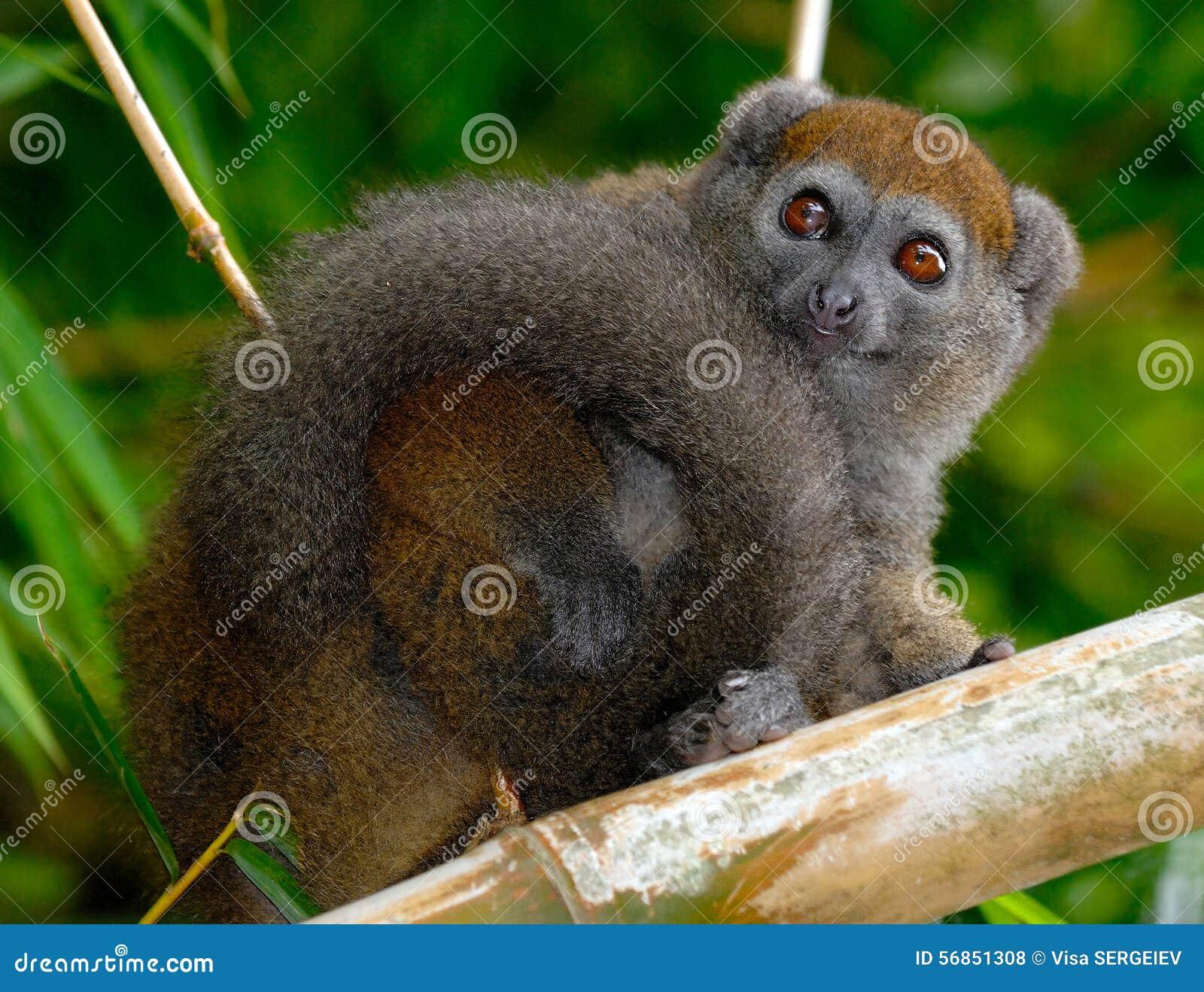 östlig lemur för bambu mindre