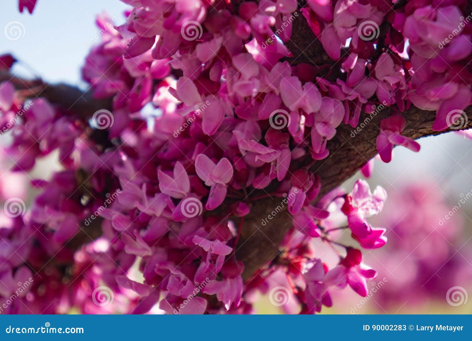 Östlig Redbud blomma