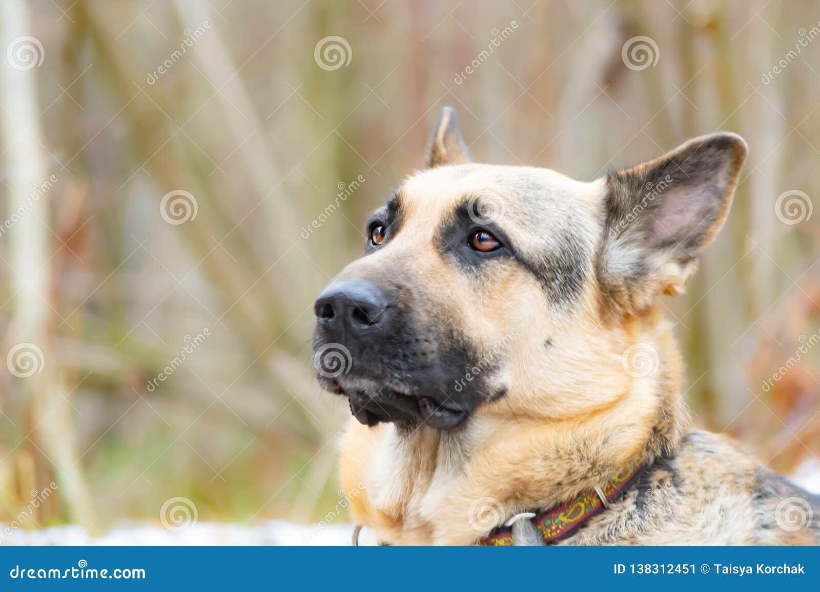 Östligt - européherde Den unga driftiga förskräckta hunden går i skogen