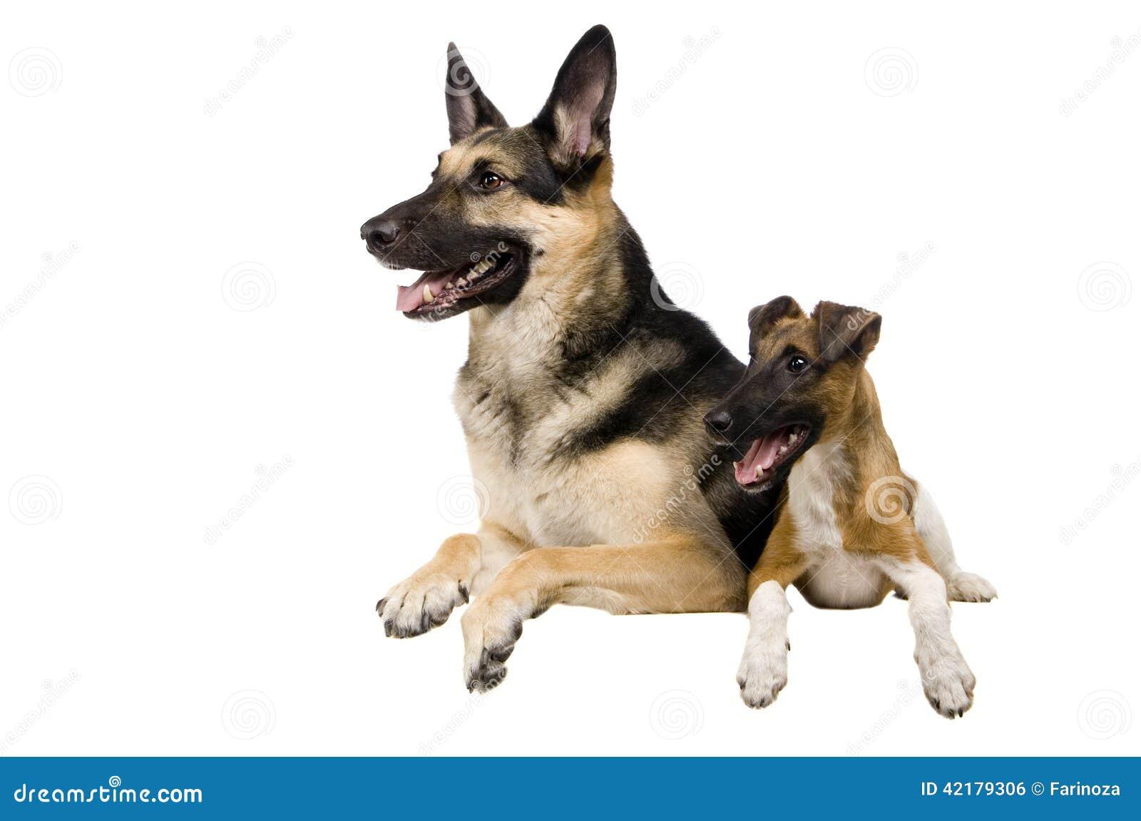 Östligt - europeisk får-hund med foxterriern på vit