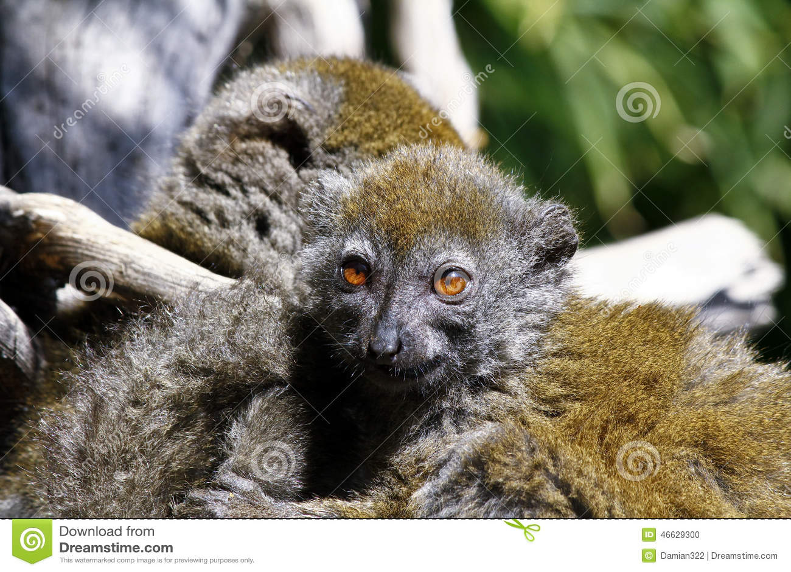 Östligt lesser bambumaki (den Hapalemur griseusen)