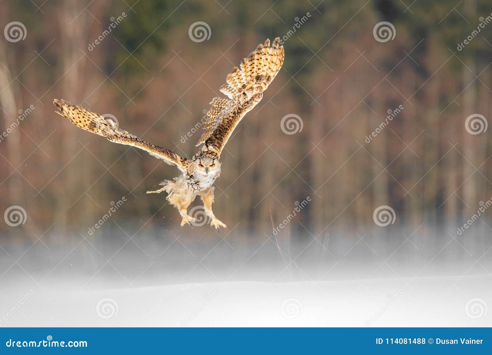 Östligt SiberianEagle Owl flyg i vinter Härlig uggla från Ryssland som flyger över snöig fält Vinterplats med majestätisk sällsyn