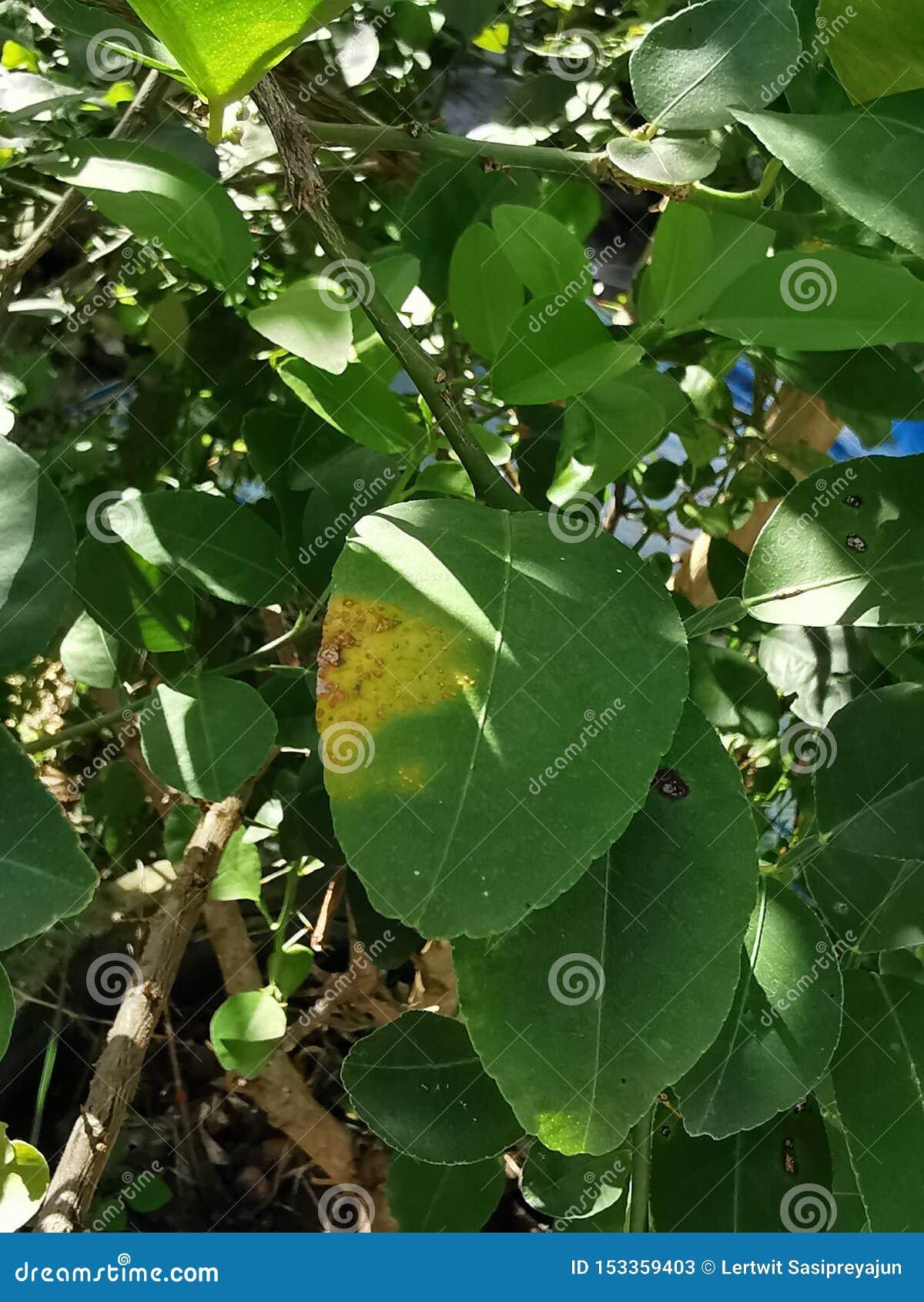 Úlcera do citrino em causas do citrino pelas bactérias