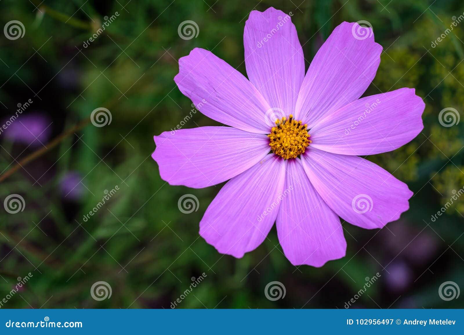 Única flor da ideia superior do cosmos do roxo