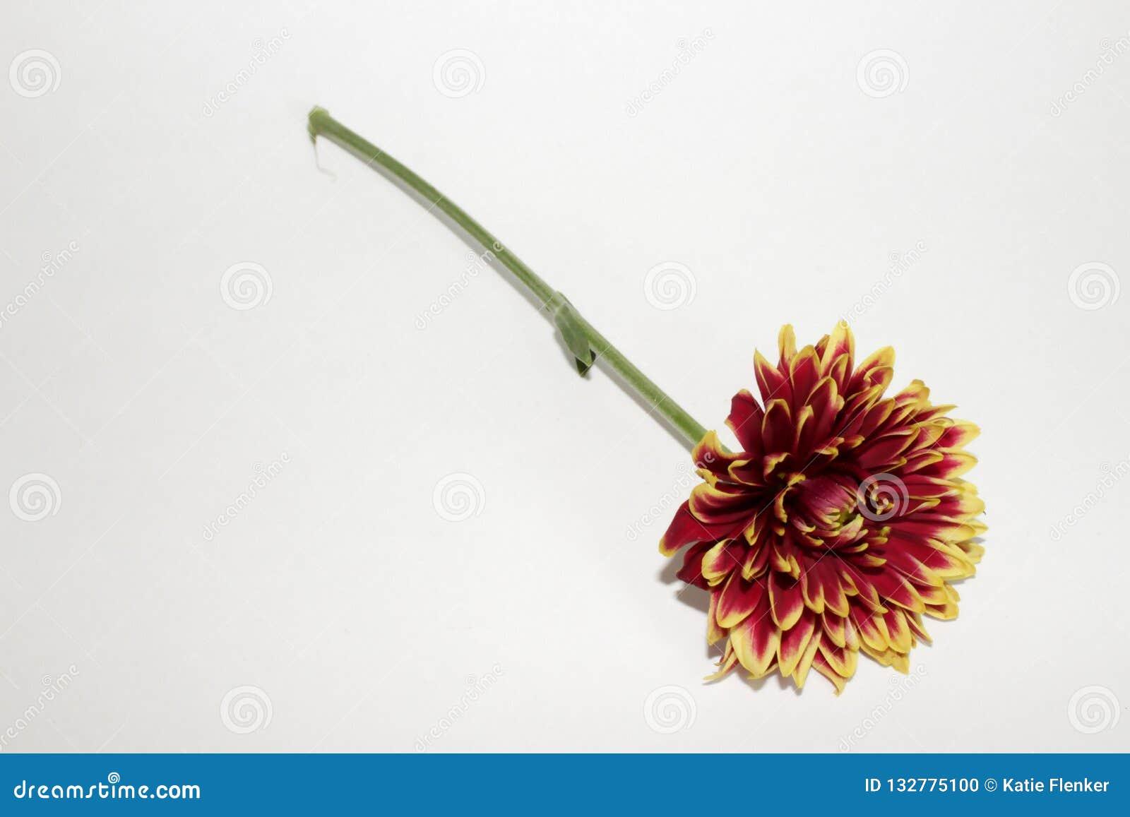 Única flor roxa da dália com haste