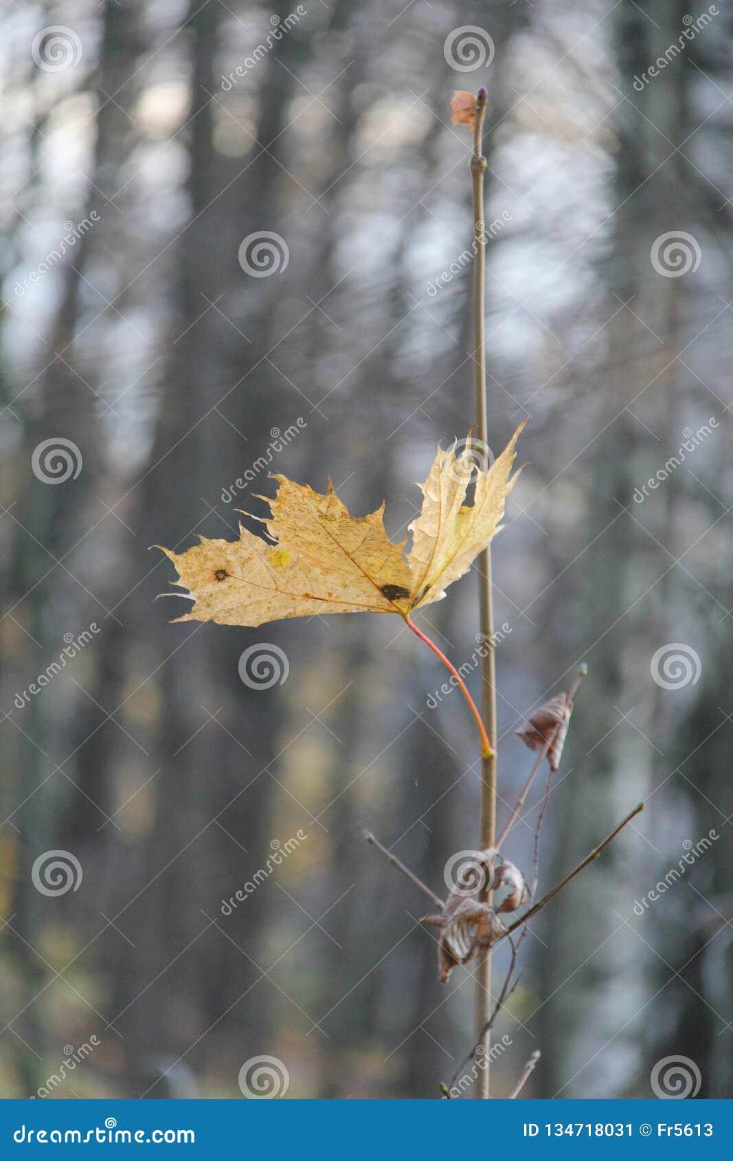 Única folha de bordo amarela outono Paisagem