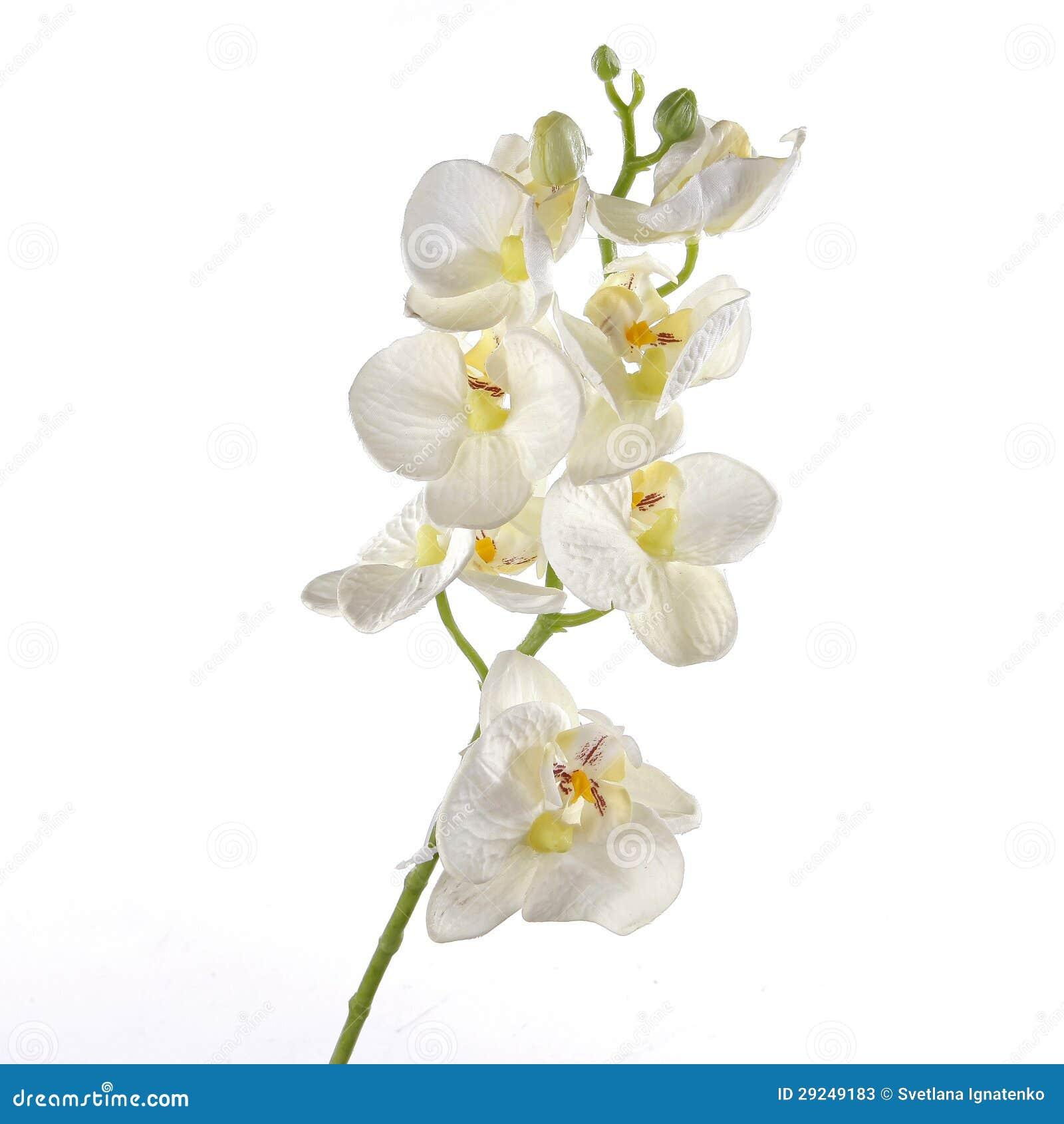 Download Única Orquídea Branca Isolada No Fundo Branco Imagem de Stock - Imagem de decorativo, flores: 29249183