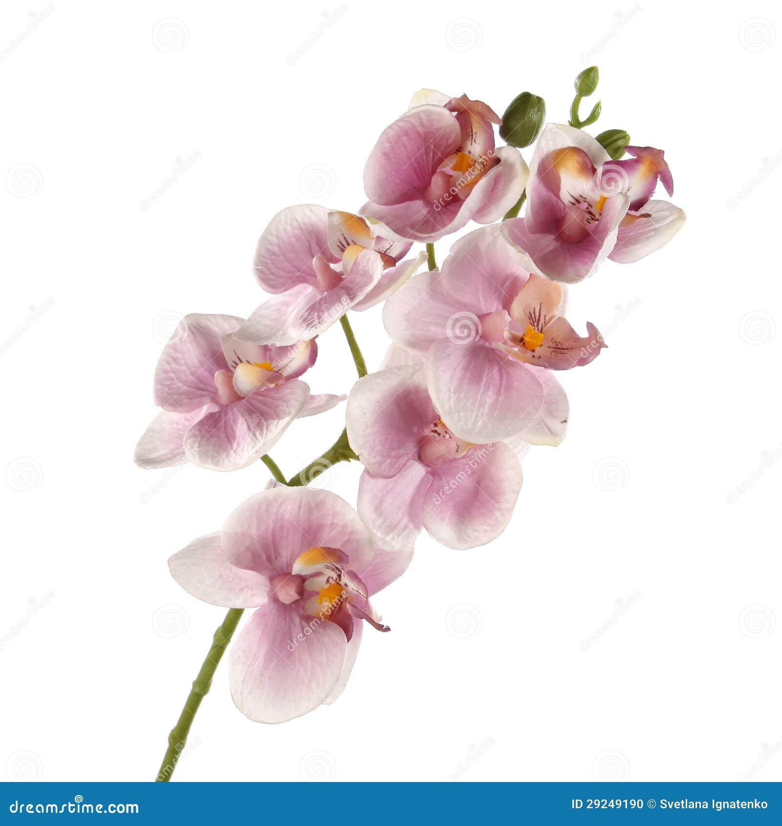 Download Única Orquídea Cor-de-rosa Isolada No Fundo Branco Foto de Stock - Imagem de beleza, botany: 29249190