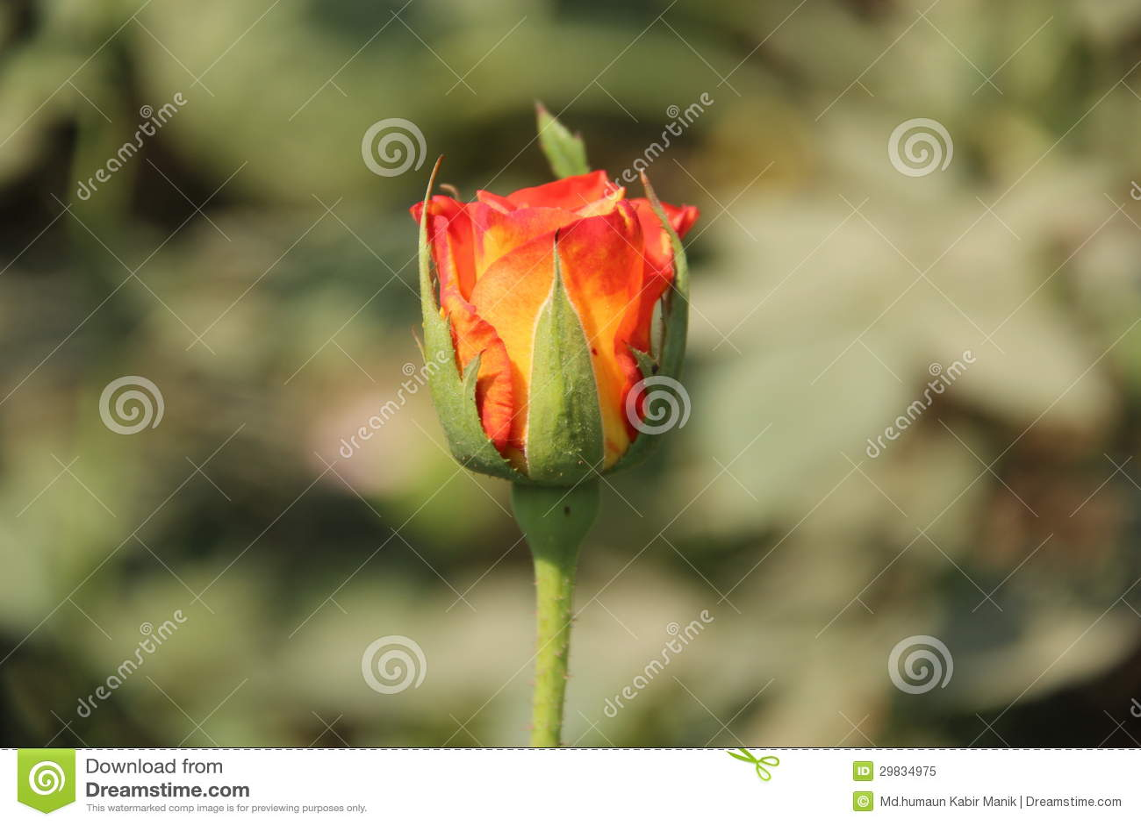 Única Rosa vermelha & alaranjada