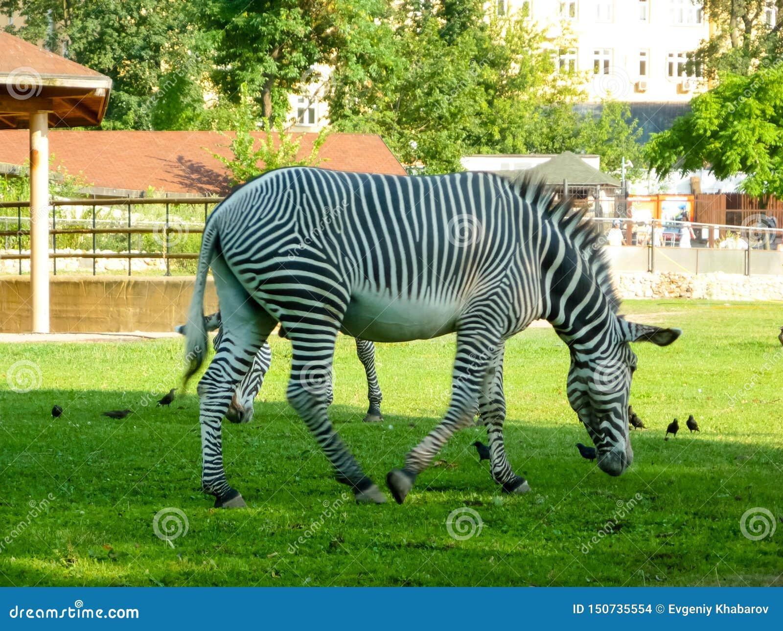Única zebra na grama verde longa Jardim zool?gico de Moscovo
